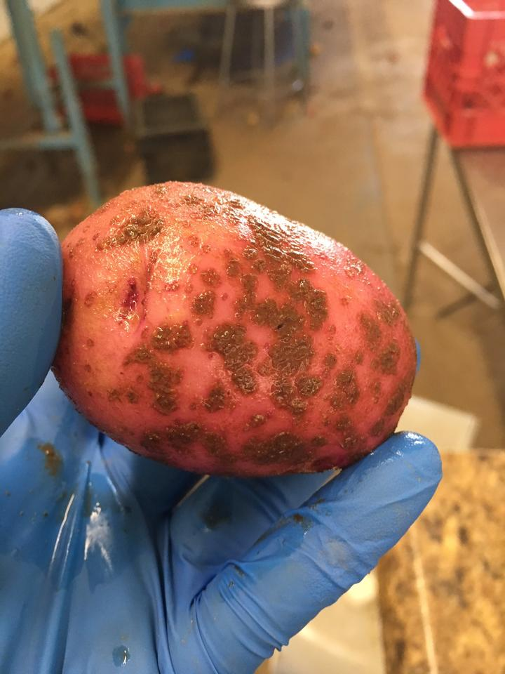 Scab on a red potato in the sorting shed